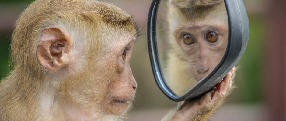 una scimmia che osserva la propria immagine riflessa in uno specchietto